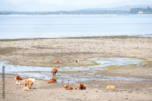 Canvas-taulu Scottish cows grazing on beach in Scotland