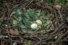 Booted Eagle Nest With Two Eggs.