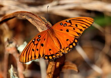 Bright Macro Photo Of A Gulf Fritillary Butterfly. Agraulis Vanillae.