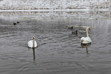 Two White Swans Pair Swim On The Water With Ice Floes On Mallard Ducks And Snow Covered Far Riverbank Background At Cold Winter Day, Migratory Birds Don't Want To Fly Away From Europe