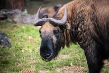 Portrait Of Takin Eating Grass, A Rare Herbivorous Animal, The National Animal Of Bhutan