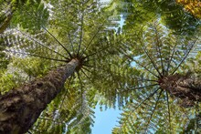 Tall Tree Ferns View From Below In New Zealand