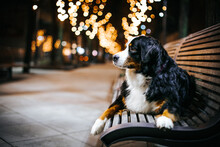 Bernese Mountain Dog Posing Outside In The City. Dog Portrait At Night. Christmas Dog Portrait.