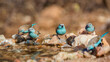 canvas print picture Small group of Blue-breasted Cordonbleu standing at waterhole in Kruger National park, South Africa ; Specie Uraeginthus angolensis family of Estrildidae