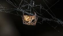 Cross Orb-weaver (Araneus Diadematus)