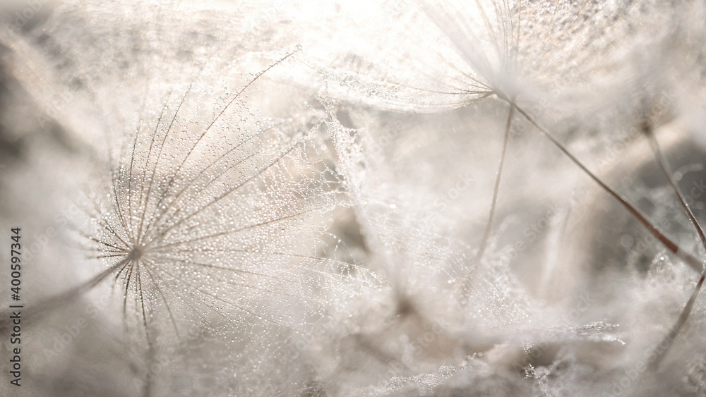 Fototapeta Beautiful dew drops on a dandelion seed macro. Beautiful soft grey background. Water drops on a parachutes dandelion. Copy space. soft focus on water droplets. circular shape, abstract background