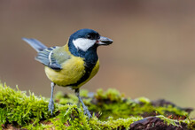 Great Tit (Parus Major) Sitting On A Mossy Log And With A Sunflower Seed In Its Beak On A Uniform Background