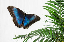 Blue Butterfly Morphinae And Green Palm Leaves