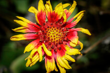 Gaillardia Arizonica, Arizonia Blanket Flower, Is A Species Of Flowering Plant In The Sunflower Family. It Is Native To Northwestern Mexico And The Southwestern United States.