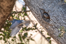 Female Says Phoebe Bird Looks Out From Nest Hole From Within Oak Tree As Partner Flies Off.