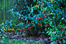 Closeup Of Scarlet Firethorn With Ripe Berries In Winter, England