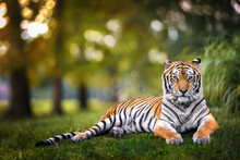 Tiger Laying On Grass During Sunset Through Trees