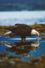 Thirsty Bald Eagle