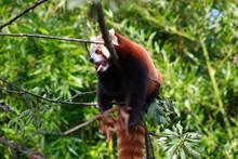 Roter Panda Gähnt