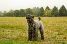 An Isolated 3/4  Side View Of A Kerry Blue Terrier Standing Looking Toward The Camera In A Grassy Field With Trees In Background On A Foggy Day