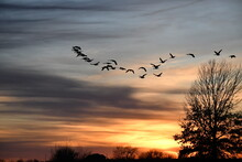 Flock Of Geese In A Sunset