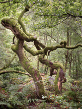 Twisted Trees Covered In Moss In The Woodland