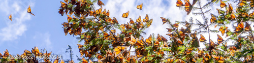 Fototapeta Monarch Butterflies on tree branch with blue sky in background at the Monarch Butterfly Biosphere Reserve in Michoacan, Mexico, a World Heritage Site