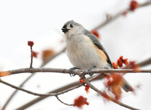 Tufted Titmouse Standing On Tree Branch In Spring