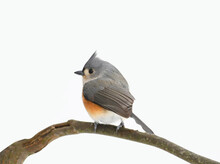 Tufted Titmouse Standing On Tree Branch In Winter