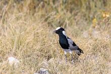 Black And White Water Bird Blacksmith Lapwing Or Blacksmith Plover (Vanellus Armatus) In Etosha National Park, Africa Namibia Safari Wildlife