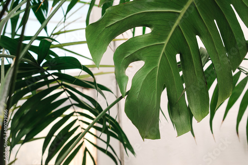 Leaves of houseplants close-up in the home interior Fotobehang