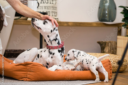 Mom Dalmatian dog surrounded by her puppies Wallpaper Mural