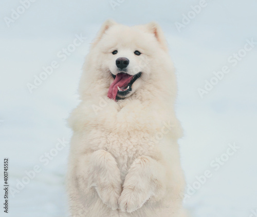 Tablou Canvas Winter portrait of cute white Samoyed dog standing on its hind legs on snow in t