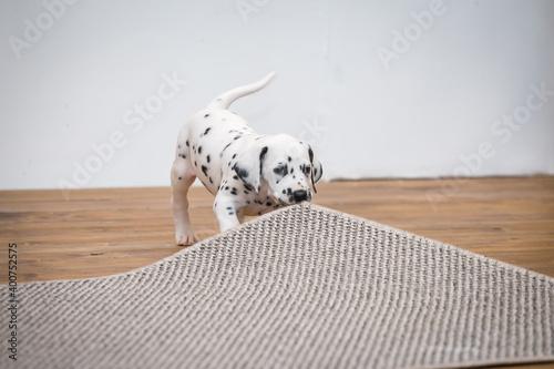 Little dalmatian puppy gnaws a corner of a gray carpet Wallpaper Mural