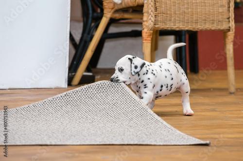 Canvas Print Little dalmatian puppy gnaws a corner of a gray carpet