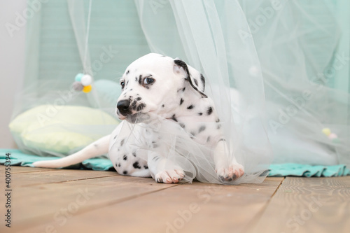 Photo A small Dalmatian puppy is gnawing on a light transparent cloth cape