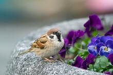 歩道の花壇で憩うスズメ