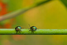 Selective Focus Macro Image Of Two Jewel Bugs With Vibrant Colors Walking On A Stem With Blur Green Background