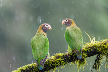 A Pair Of Brown-hooded Parrot (Pyrilia Haematotis) Perch On A Tree Branch In The Rain In Laguna Del Lagarto, Costa Rica