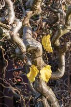 Die Letzten Drei Blätter Hängen Diesen Herbst Noch An Einem Busch Der Korkenzieherhasel, Corylus Avellana Contorta.