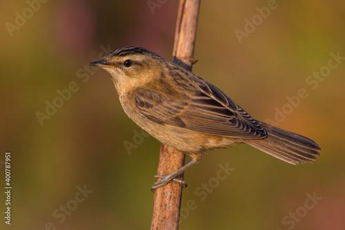 Fotografia Rietzanger; Sedge Warbler; Acrocephalus schoenobaenus