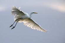Grote Zilverreiger, Great Egret, Egretta Alba