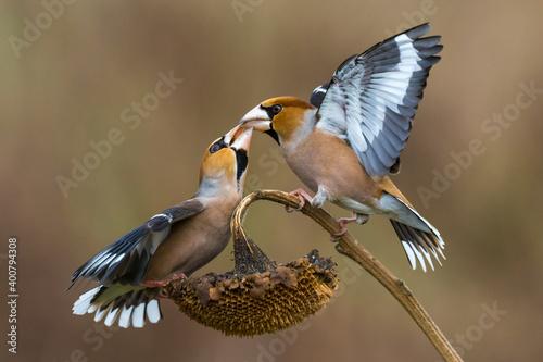 Fotografia, Obraz Appelvink; Hawfinch; Coccothraustes coccothraustes