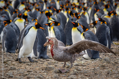 Foto Brown Skua with bloody beak and spread wings in a colony of king penguins in South Georgia