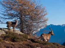 Bouquetin, Les Cheserys, Chamonix, Haute Savoie, FRANCE