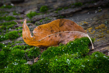 Autumn Remnant Fallen On Spring Moss