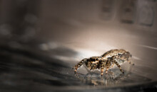 Jumping Wolf Spider Close Up View Sitting On Glas Ground