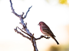 Male House Finch Perched On Branch