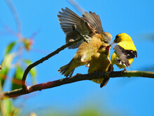 Goldfinch Bird Feeds Babies: A Father American Goldfinch Bird Attempts To Feed Two Hungry Finch Babies Who Fight Over The Food While Perched On A Branch With One Jumping On The Other
