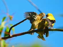 Goldfinch Bird Feeds Babies: A Father American Goldfinch Bird Attempts To Feed Two Hungry Finch Babies Who Fight Over The Food While Perched On A Branch