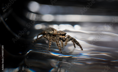 Fotografija jumping wolf spider close up view sitting on glas ground