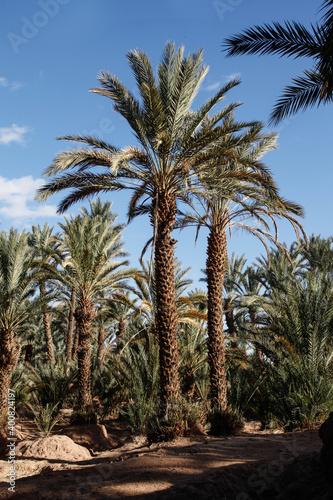 Palmy daktylowe w oazie dolina rzeki Draa, Maroko, 2917 r. - fototapety na wymiar
