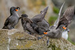 canvas print picture - Crested (Aethia cristatella) and Least (Aethia pusilla) Auklets at St. George Island, Pribilof Islands, Alaska, USA