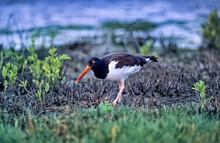 Bird-American Oystercatcher