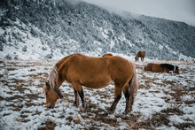 Horses Grazing In Agriculture Field During Winter